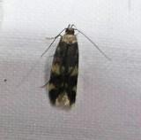 Four-spotted yellowneck moth (Oegoconia novimundi), #1134