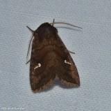 Signate quaker moth  (Tricholita signata), #10627