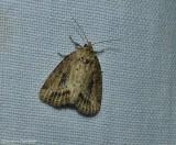 Northern cordgrass borer moth  (Photedes panatela), #9436