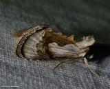 Formosa looper moth (Chrysanympha formosa), #8904