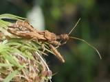Assassin Bugs (Family: Reduviidae)