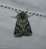 Comstock's sallow moth (Feralia comstocki), #10008