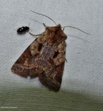Willow dart moth  (Cerastis salicarum), #10996