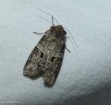 Alternate woodling moth (Egira alternans), #10517