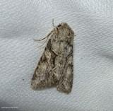 Distinct quaker moth (Achatia distincta), #10518