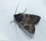 Noctuid moth (Euxoa albipennis), #10807