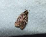 Pre-tortricid Moths:  0011-2650