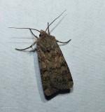 Reaper dart moth  (Euxoa messoria), #10705