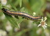 Brown-hooded owlet moth caterpillar (Cucullia convexipennis),  #10202