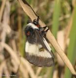 Bog buckbean moth (Hemileuca)