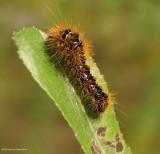 Smartweed caterpillar ()