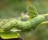 Spectacled nettle moth caterpillar (Abrostola urentis), #8881