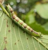 Prominent moth caterpillar (Lochmaeus) sp.)