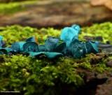 Blue stain fungus (Chlorociboria aeruginascens)