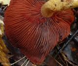 Surprise webcap mushroom (Cortinarius semisanguineus)