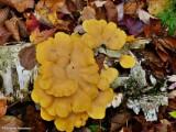 Stinking orange oyster mushroom (Phyllotopsis nidulans)