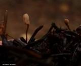 Fungi (Heyderia abietis)