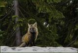 YUKON Foxy Lady