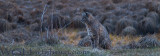 Bobcat Meadow