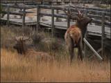 Eluding Elk