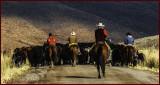 Cattle Drive Rawhide