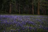 Wawona Meadow Lupine