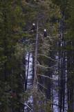 Bald Eagles Perch