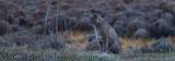 Bobcat in Meadow