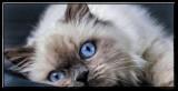 Mr Blue Eyes 🐈