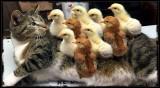 Chick-fil-A ?????🐈