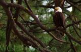 Bald Eagle 🦅