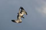 Falco Pescatore - Osprey
