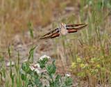 Vitribbad skymningssvärmare - Striped Hawk-moth  Hyles livornica