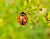 Sjuprickig nyckelpiga   Seven-spot Ladybird