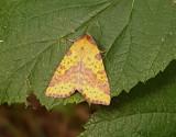 Violettbandat gulvingsfly Xanthia togata