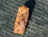 Rostgult plattfly  Dotted Chestnut  Conistra rubiginea