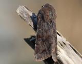 Större sälgfly  Clouded Drab  Orthosia incerta