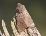 Mindre sälgfly  Small Quaker  Orthosia cruda