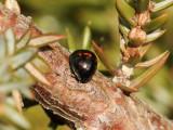Hednyckelpiga Heather Ladybird  Chilocorus bipustulatus