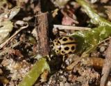 Sextonprickig nyckelpiga  Sixteen-spot Ladybird  Tytthaspis sedecimpunctata