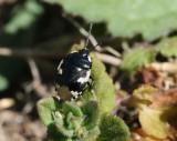 Svartvit taggbening  Tritomegas bicolor