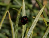 Fyrfläckig tallpiga  Exochomus quadripustulatus