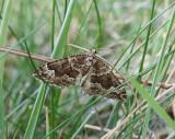 Vågbandad fältmätare  Lampropteryx suffumata