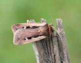 Mindre jordfly  Ochropleura plecta