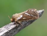 Lerfärgad rotfjäril  Korscheltellus lupulinus
