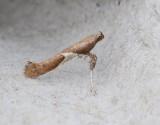 Aspstyltmal  Caloptilia stigmatella