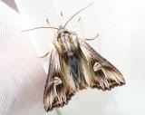 Tandat johannesörtsfly  Actinotia polyodon