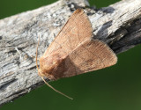 Streckfly  Charanyca trigrammica