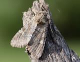 Sädesängsfly  Apamea sordens