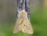 Gul tigerspinnare  Spilosoma luteum